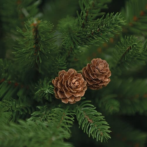 conifer dream detaliu